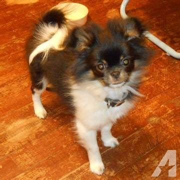 japanese chin pomeranian loving japanese chin pomeranian for sale in rochester minnesota classified