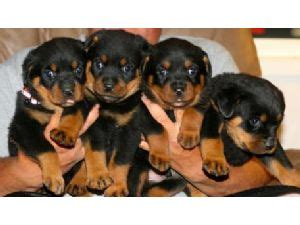 rottweiler for sale indianapolis rottweiler puppies for sale