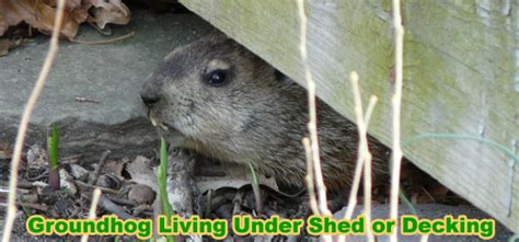 how to get rid of a groundhog shed deck or house