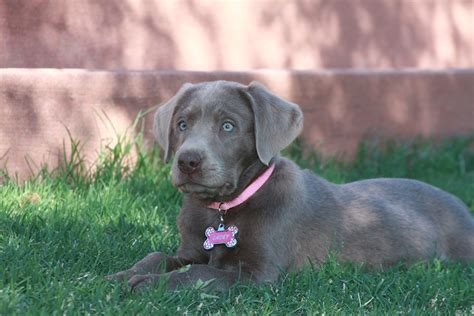 silver lab puppies durham silver labs silver lab puppies for sale