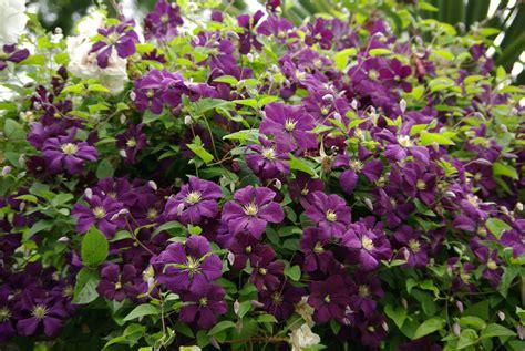 clematis viticella etoile violette 4887 g4mhj gardening