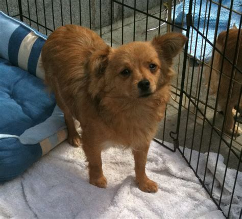 chihuahua pomeranian poodle mix of the day chihuahua pomeranian the dogs of san franciscothe dogs of san