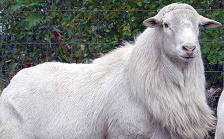Types Of Hair Sheep by A Curly Haired For The 99 Of Who