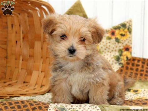 morkie puppies for sale in nc morkie puppies for sale in nc zoe fans baby animals morkie