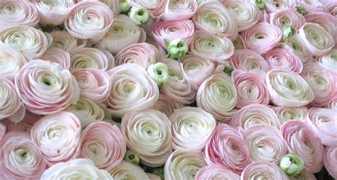 fiori di loro ranuncoli fiori e loro coltivazione idee green