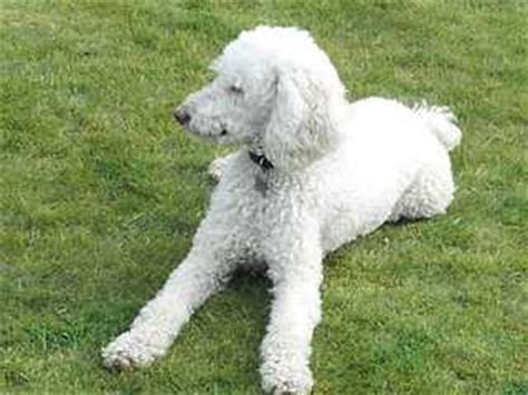 puppies for sale in bend oregon standard poodle puppies bend oregon dogs our friends photo
