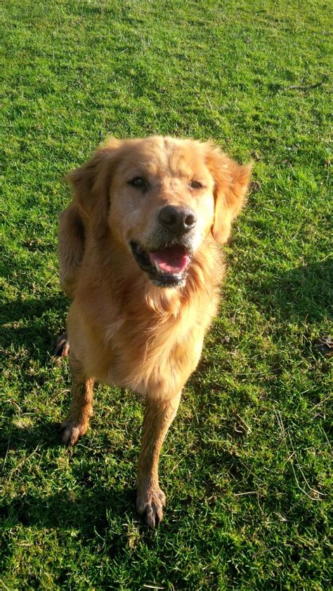 types of golden retriever working type golden retriever shrewsbury shropshire pets4homes