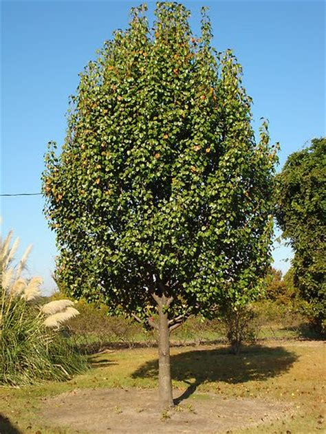 pear tree non fruit bearing cheap tricks and costly truths my pear tree has no partridge