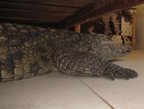 alligator under my bed crocodile under the bed barnorama
