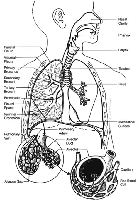 anatomy coloring book respiratory system anatomy and physiology e portfolio respiratory anatomy