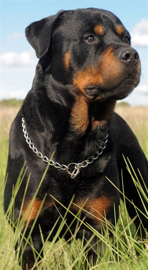 world rottweiler best 25 rottweilers ideas on