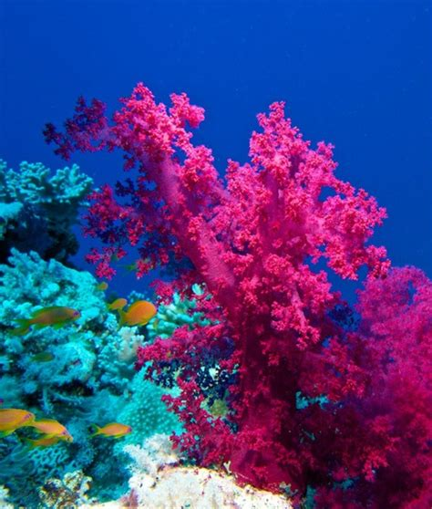 pink coral the sea coral