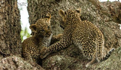 Gamis Leopard leopard update the leopard weblog