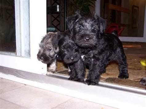 miniature schnauzer puppies for sale in ky schnauzer puppies for adoption in kentucky breeds picture