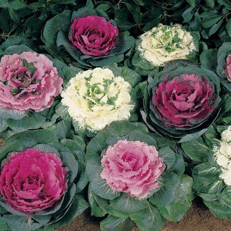 50 ornamental cabbage seeds brassica oleracea annual biennial seeds