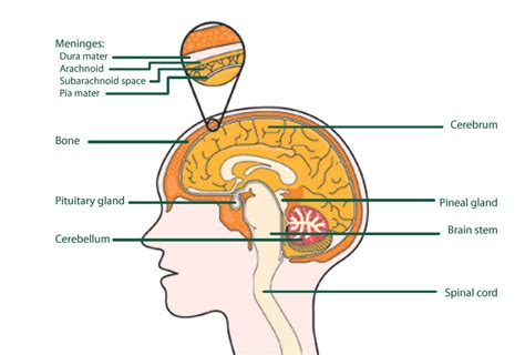 brain functions diagram brain image brain diagram and functions