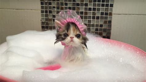 bath time kitten can barely disguise hatred of humanity
