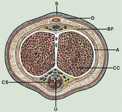 cross section penis penis and scrotum anatomy of penis