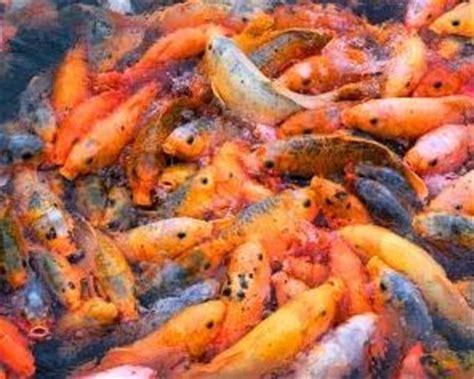Pakan Ikan Lele Hias gambar jenis pakan makanan ikan hias cupang lele