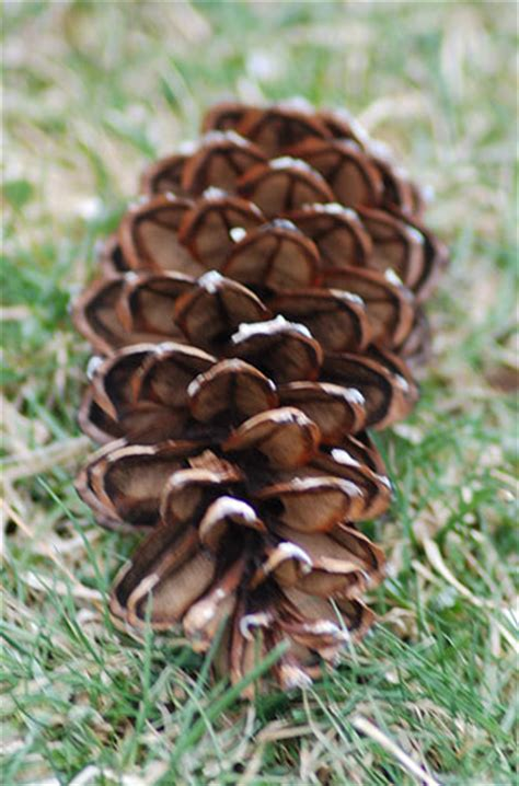 white pine cone wwe wrestlers profile maine state flower white pine cone