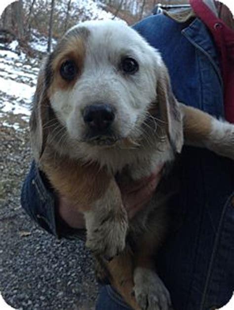 corgi puppies montana thor adoption pending adopted puppy mt sterling ky corgi blue heeler mix