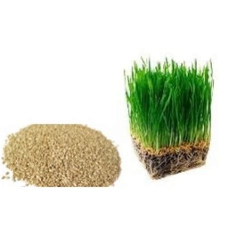 Bibit Wheatgrass jual bibit wheat grass l wheat grass grain kantin
