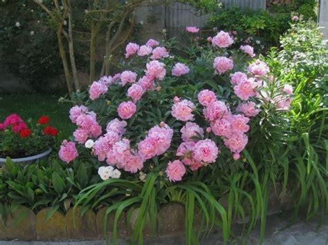 peonie in vaso peonia erbacea piante da giardino caratteristiche