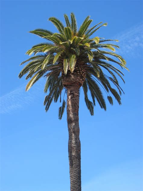 Palm Tree - palm tree varieties common and names florida trees