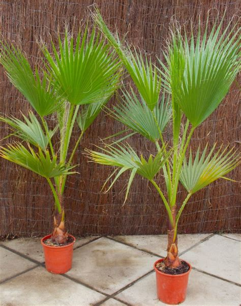 special deal mexican fan palms washingtonia robusta