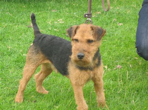 terrier puppies for sale terriers terrier puppies for sale airedale terrier puppies for sale forres