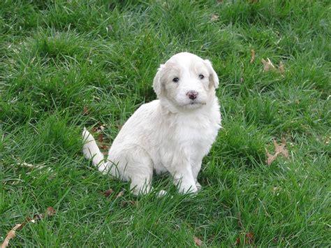 white labradoodle puppies white labradoodle puppy 1 comment hi res 720p hd