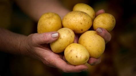 wann werden kartoffeln gesetzt wann kartoffeln pflanzen kartoffeln pflanzen und ernten