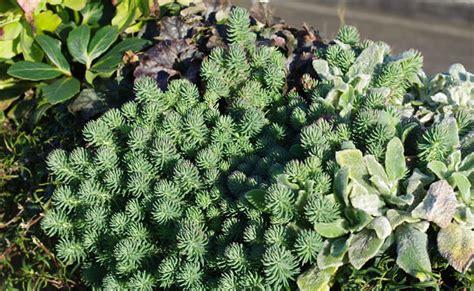 Winterharte Stauden Pflanzen 931 by Winterharte Stauden Pflanzen Steingarten Stauden Mix