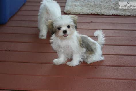 shih tzu spots shih tzu puppy for sale near southeast missouri missouri ea19ffc0 e111