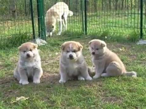 akita inu puppies for sale akita inu puppies for sale 3 and 1