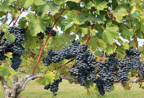 Bunga Anggur gambar gambar menanam buah berry bunga semak makanan