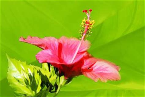 are hibiscus poisonous to dogs are hibiscus flowers bad for dogs home guides sf gate