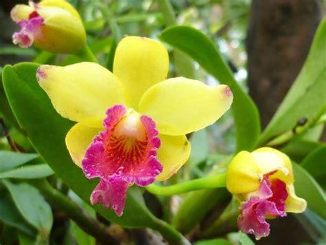 orchidea fiore orchidea cura orchidee coltivare l orchidea