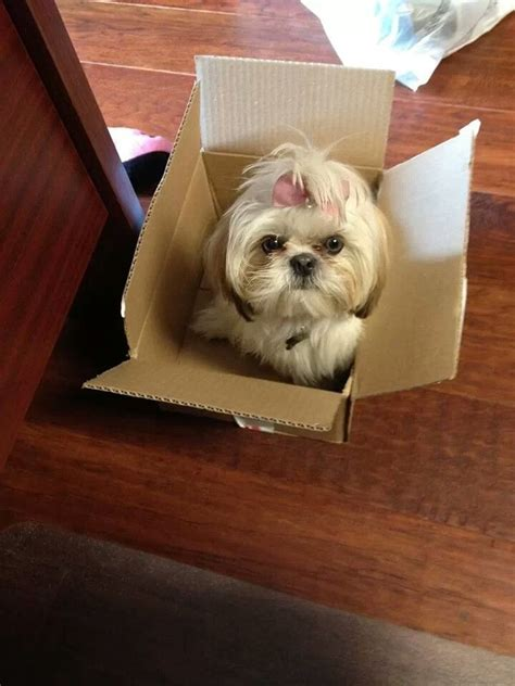 top knot shih tzu 595 best images about shih tzu pictures on maltese shih tzu shih tzus and