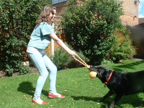 tug of war with puppy tug of war with your holidays4dogs home boarding for dogs
