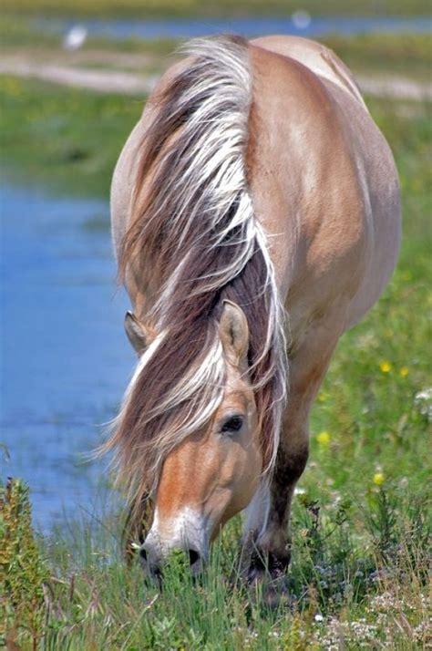 fjord paard