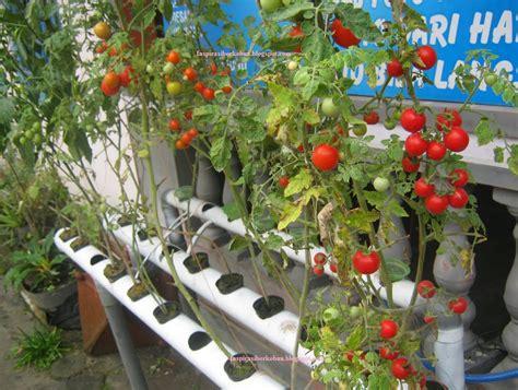 Hidroponik Fertigasi Tomat cara menanam tomat hidroponik yang benar bagi pemula