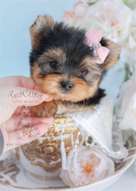 tiny teacup yorkie puppies for sale in michigan de 25 bedste id 233 er inden for yorkie puppies for sale p 229 teacup yorkie