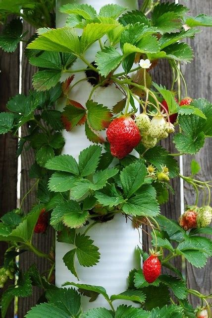 Vertical Edible Garden Vertical Edible Gardening Berry Patch