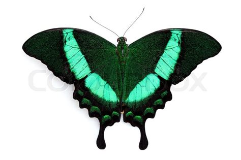 Tropical Plant Biology - black and green butterfly isolated on white stock photo colourbox
