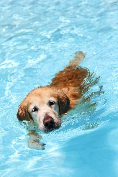 golden retriever swimming golden retriever swimming dogs and puppies swimming and bebe