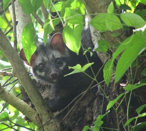 Asian palm civet - Wikipedia