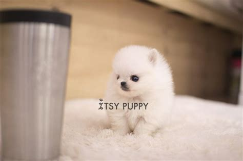teacup pomeranian for sale in ct best 25 teacup puppies for sale ideas on teacup dogs for sale tiny dogs