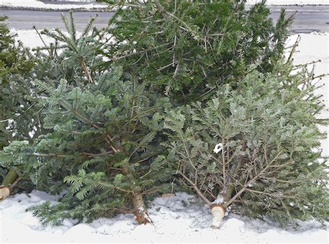 christmas trees get new life as compost kuer 90 1