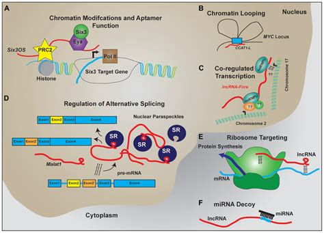 frontiers transcriptional regulation of mononuclear frontiers non coding rna dependent transcriptional